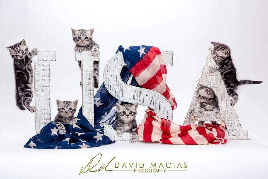 american shorthair kittens available