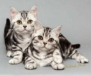 american shorthair kittens for sale