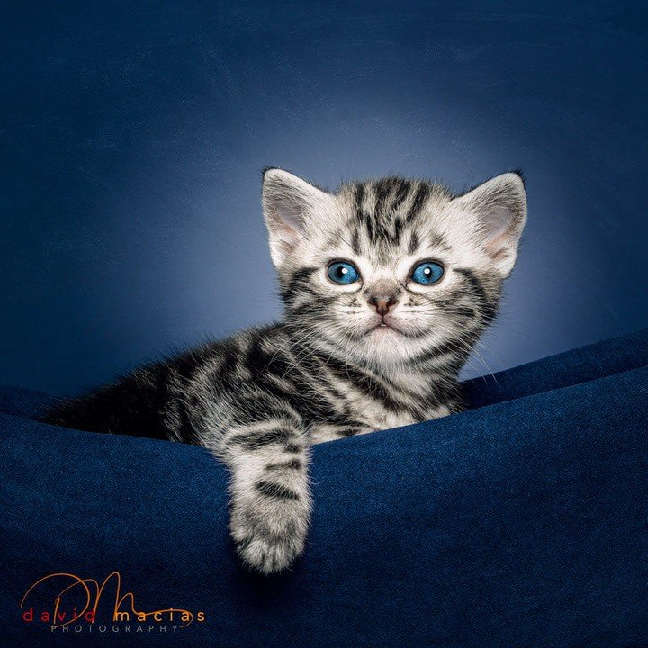 american shorthair kitten for sale