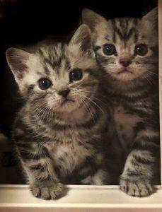 american-shorthair-kittens-for-sale