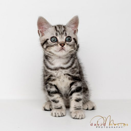 american shorthair cattery policies