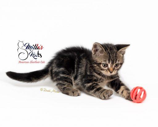american-shorthair-brown-tabby-kitten