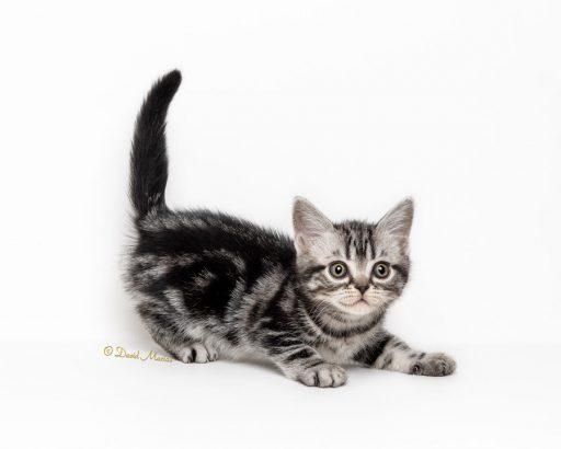 american-shorthair-silver-tabby-kitten